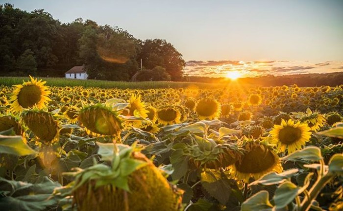 16. A sunflower field in Sussex, taken by KGS Photo.
