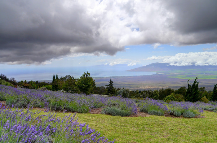 1) This photograph of the Kula Lavendar Farm, located in upcountry Maui, looks like a postcard.