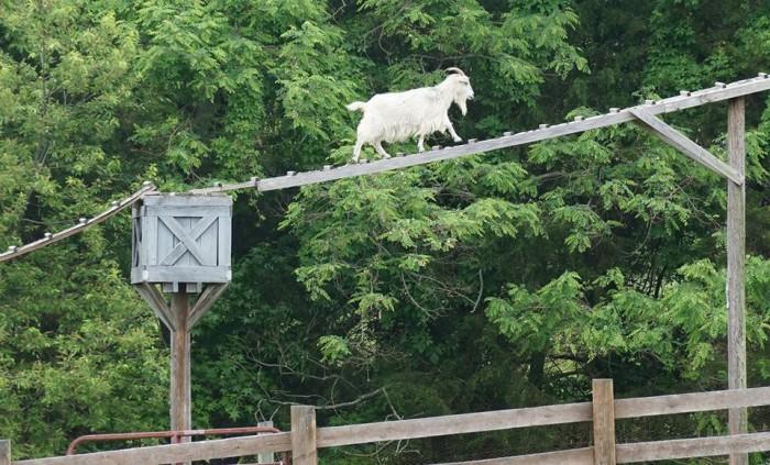 Westmoreland Berry Farm goats