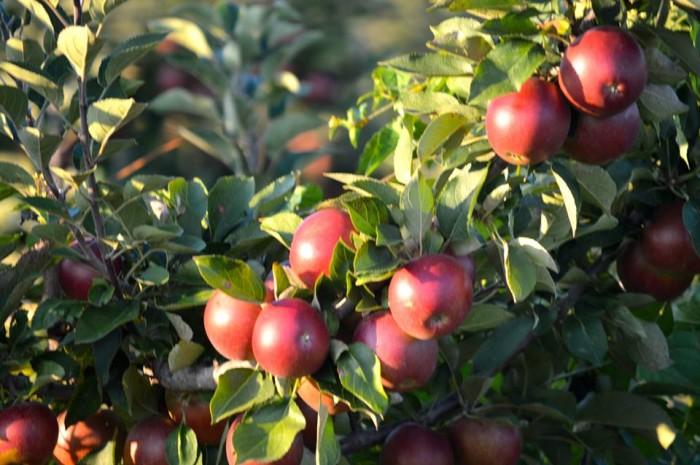 7. Go Apple Picking