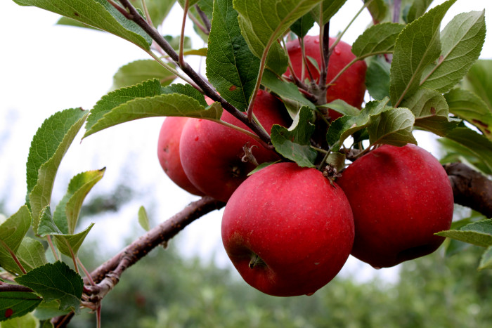 6. Have a sweet time apple picking