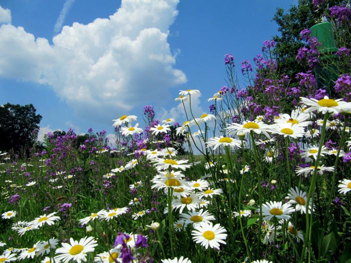 10) Daisies, Wyoming