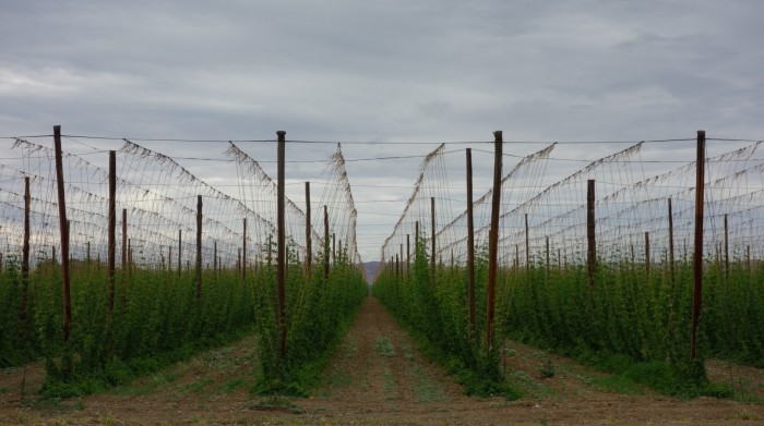 7. Our hops!