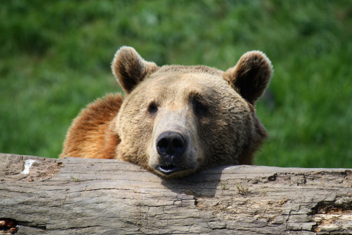 10) As comfy as a bear on a log.