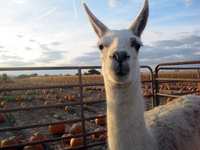9. Studt's Pumpkin Patch and Corn Maze (Grand Junction)