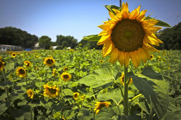 2) Sunflowers peek outside of Shreveport.