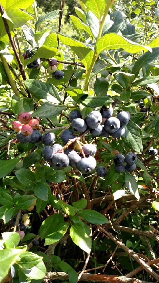 1. Appledore Woods Berry Farm