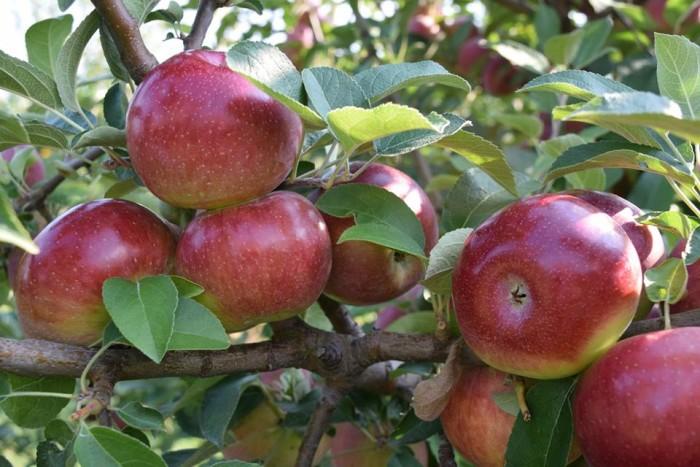 5. Liberty Apple Orchard