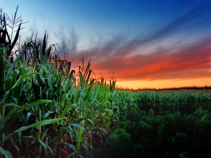 2. Northern Illinois cornfield at sunset