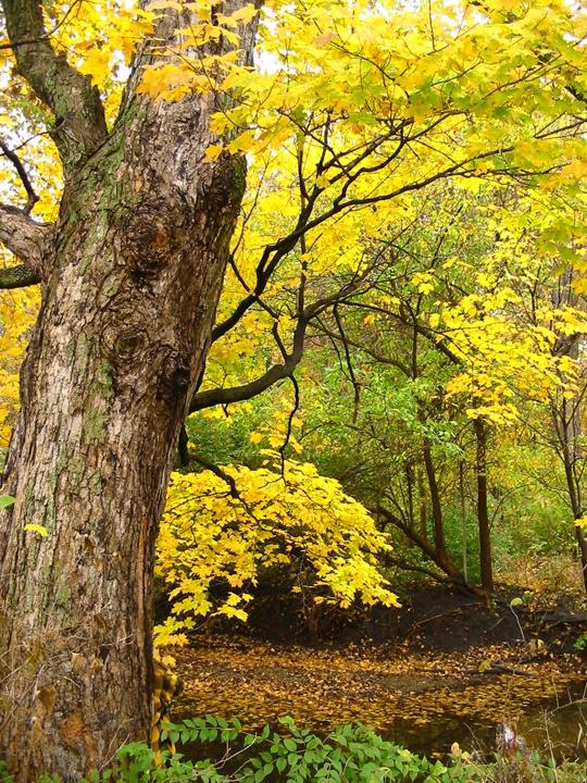 7. Yellow, fall tree in Lexington, Illinois
