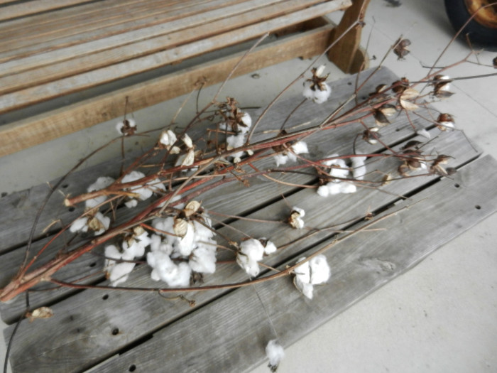 10) West Tennessee cotton is blooming.
