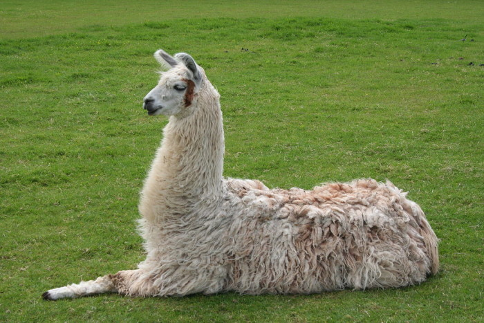 4. It is illegal for llamas to graze on city property. (Boulder)