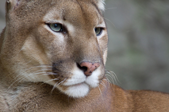 4. Mountain lions in the Mountain State