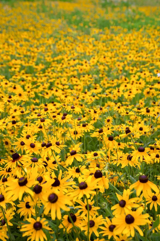 8. This cheerful (and seemingly endless) field of sunny flowers was shot by Dillon James Hardinger.