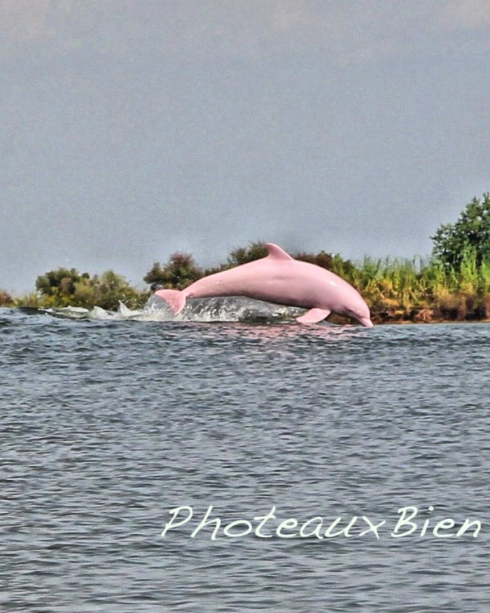 There's some controversy over why the dolphin is pink, but many scientists say it's a form of albinism.