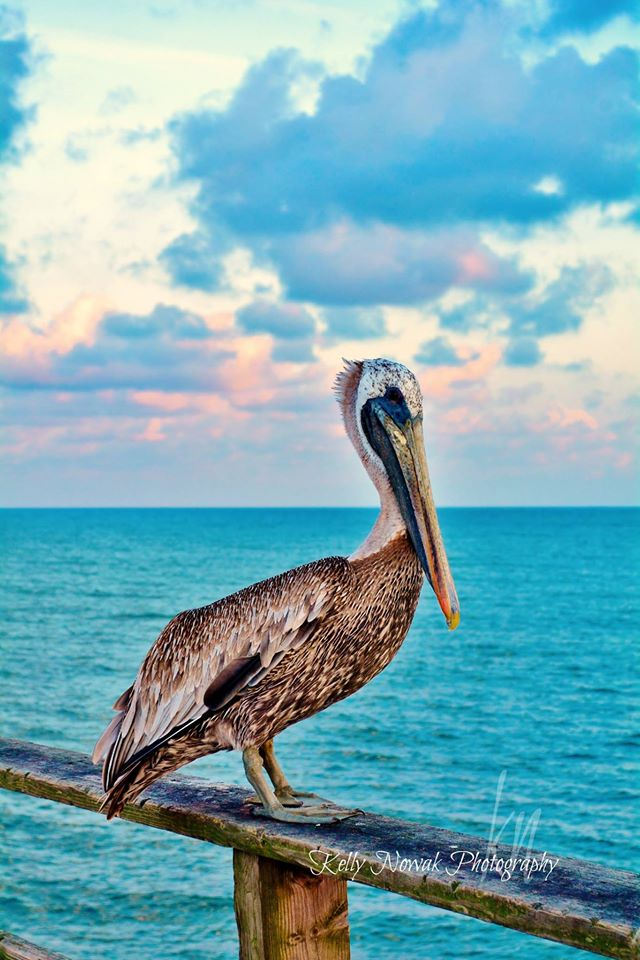 7. Pelican and the Pier captured by Kelly Nowak.