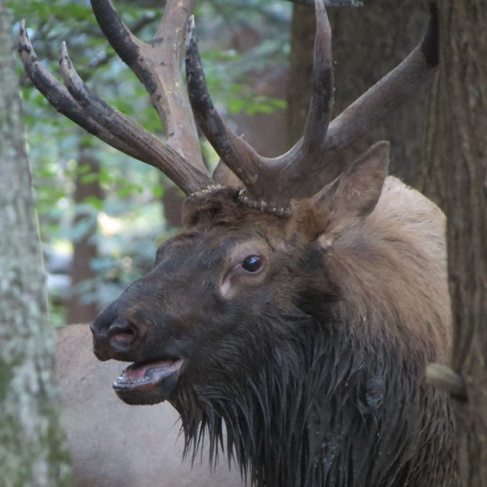 14. A famous Pennsylvania elk.