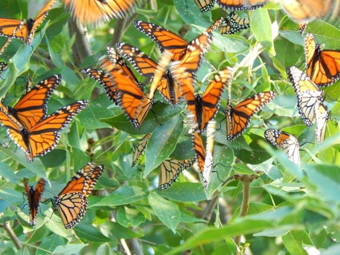 """13. """"I have thousands of migrating Monarch's resting in one of my trees just outside of Selden, Kansas. I always wanted to go to Mexico to see them all gathered there, but I don't need to now..."""""""