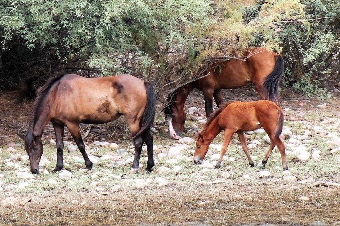 19. Here's another view of some Salt River horses enjoying a nice meal.