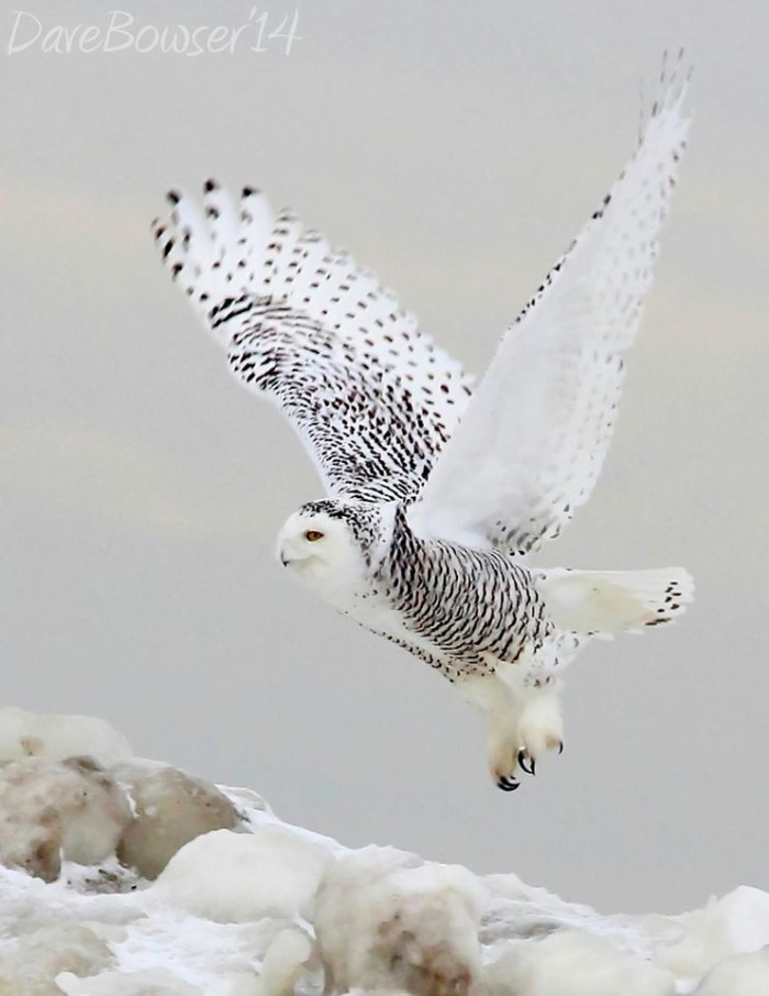 6. Wow! It's difficult enough to spot a snowy owl, let alone get a picture of one this amazing. Taken at Presque Isle Park in Erie.