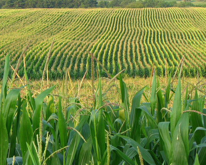 12. You know that field corn isn't for eating.