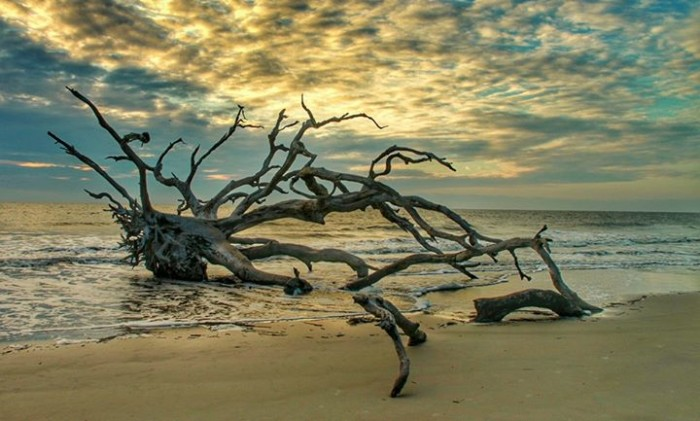 9. Driftwood Beach, Jekyll Island by Lisa Westberry