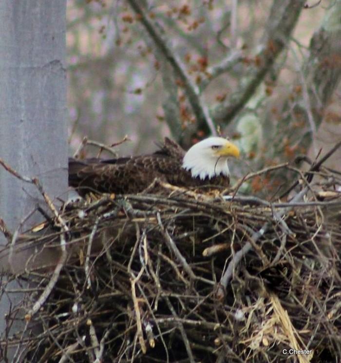 14. Eagle nesting along the Tuscarawas River