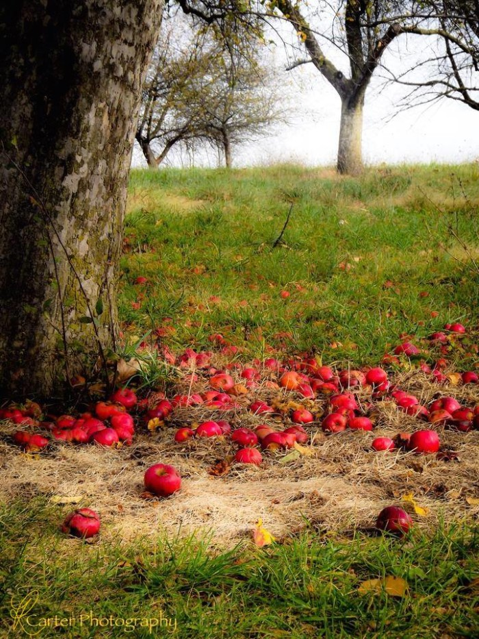 17. How seasonal! An apple orchard in Gettysburg awaits guests to gather the fruit.