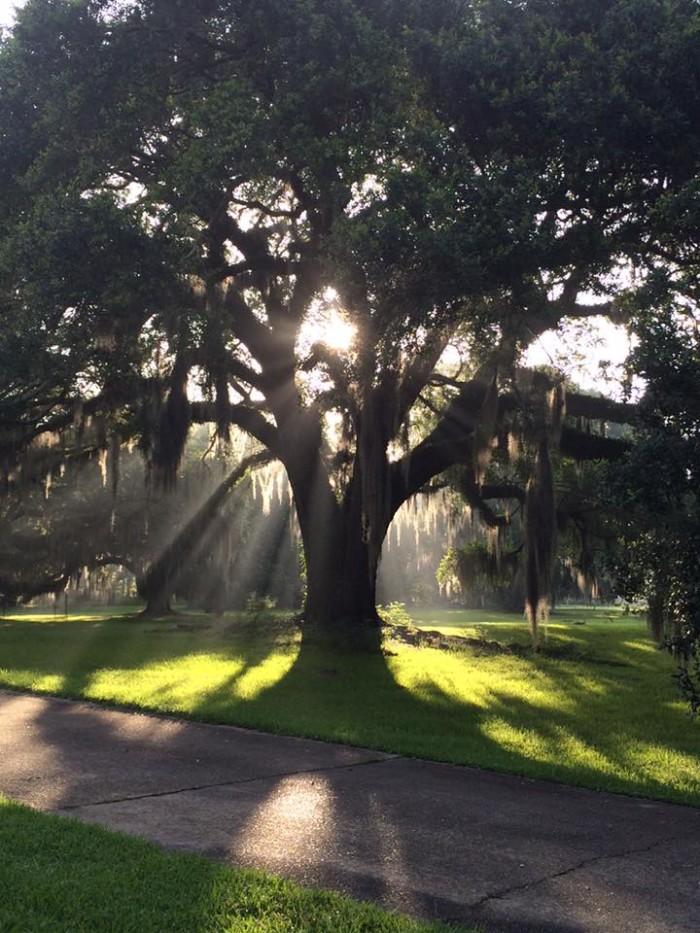 2) Morning Oak at Oaklawn Manor down in Franklin by Natalie Michelle Breaux