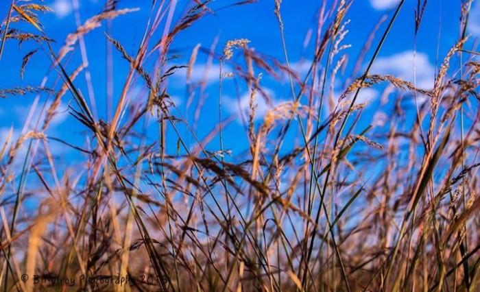 11. Gardner prairie grass.