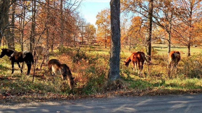 11. Afternoon sun shining on horses in woods south of Wooster, OH