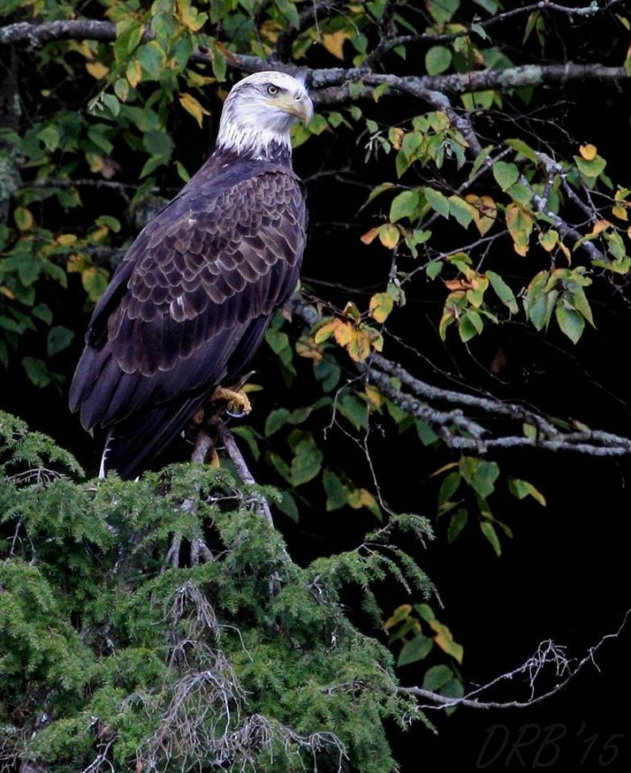 11. Oil Creek State Park is a prime destination for capturing photographs of majestic bald eagles.