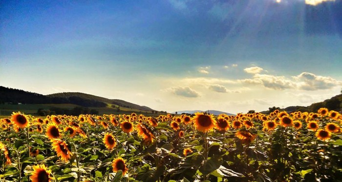 15. A field of sunflowers in Aline creates a dramatic photograph.
