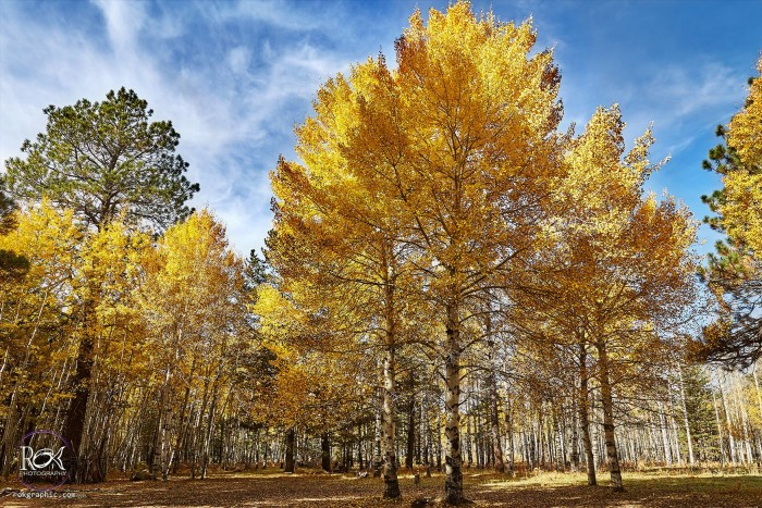 13. Here's a view of the gorgeous aspens near the Peak along Hart Prairie Road. This photo was taken earlier this week, so you may still have a chance to see the changing fall colors!