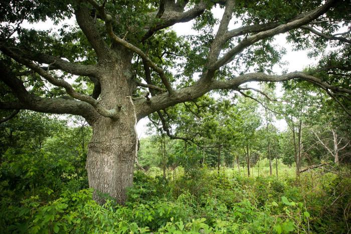 9. Centennial Tree