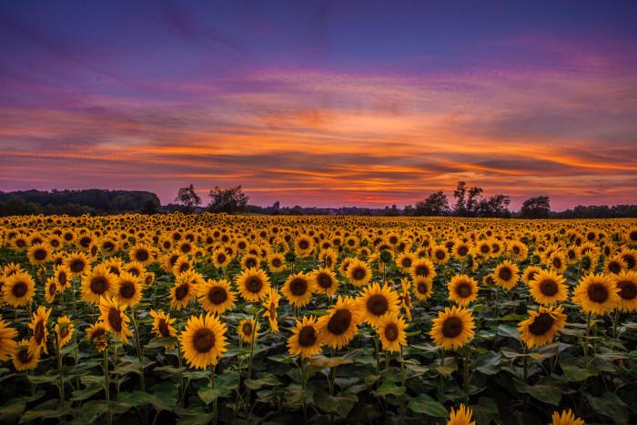 3. A sunflower sunset over Hillsborough.