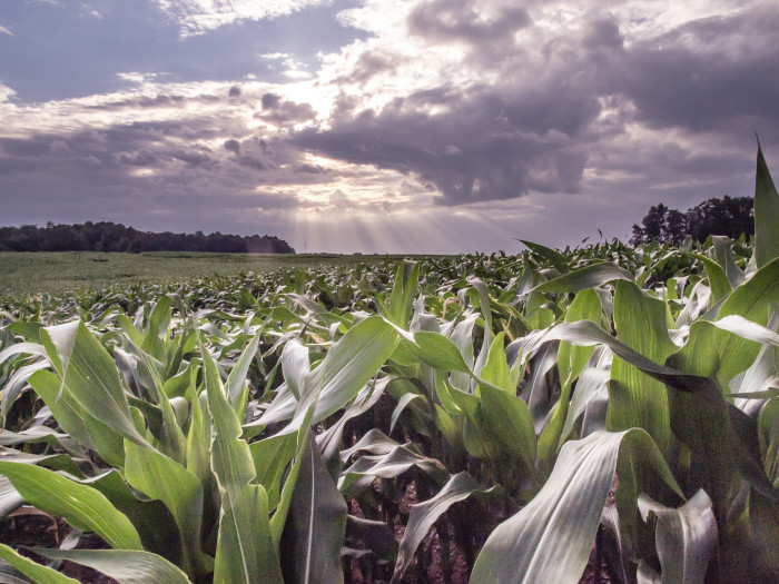 """11. """"Favored by the Sun"""" is what the photographer has named this piece. Who knew corn fields could be so pretty?"""