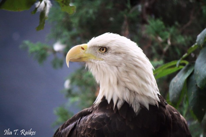 18.  Beautiful close-up shot of a Bald Eagle, taken at the St. Louis Zoo by Ilia Rakes.