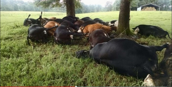2. A Cattle Catastrophe