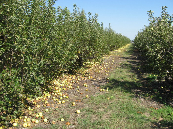 1) Apple Country Orchards (Idalou)
