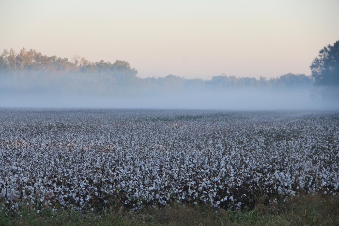 3. This picture by Dominick Riley proves that Mississippi cotton fields are a beautiful sight.