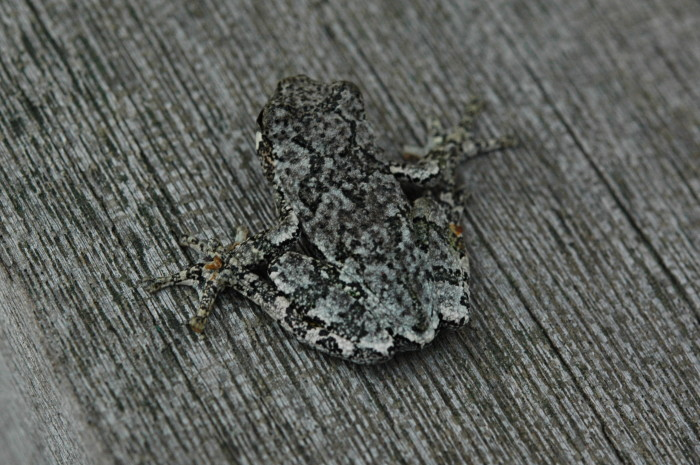 9) This camouflaging tree frog.
