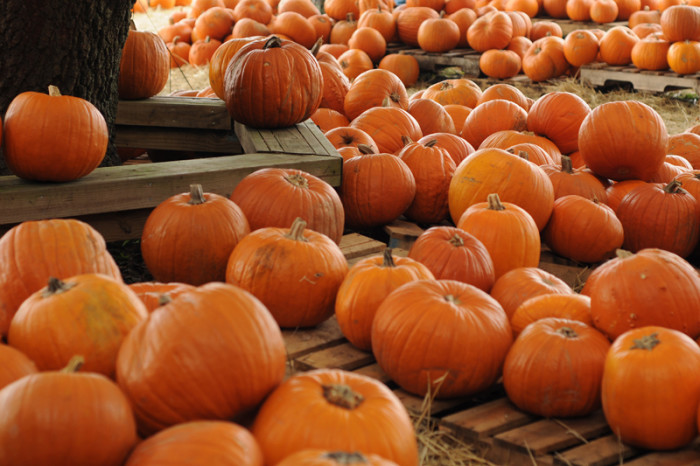 4) All the pumpkin patches open.