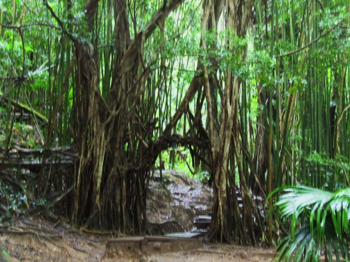4) Banyan Tree, Manoa Falls Trail