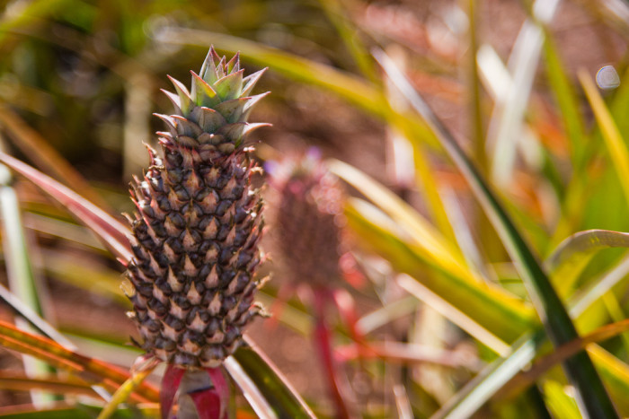 4) Pineapple production would decrease drastically if Hawaii weren't in existence.