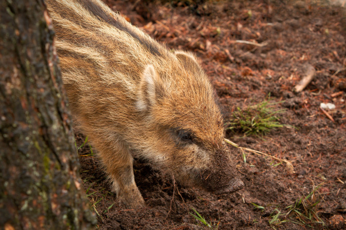 7. Spanish Hogs