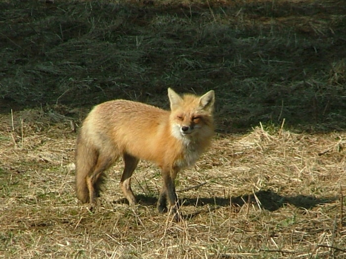14) The cuddly-looking Red Foxin Lamoille.