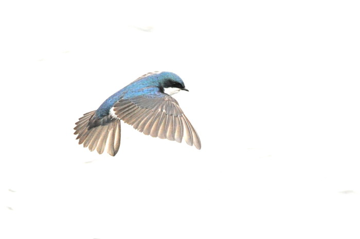 8) The tree swallow.