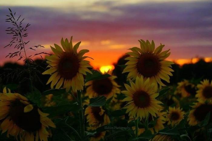 6. Sunflowers at sunset.  Taken by Kathleen D. Trombley in Willard.