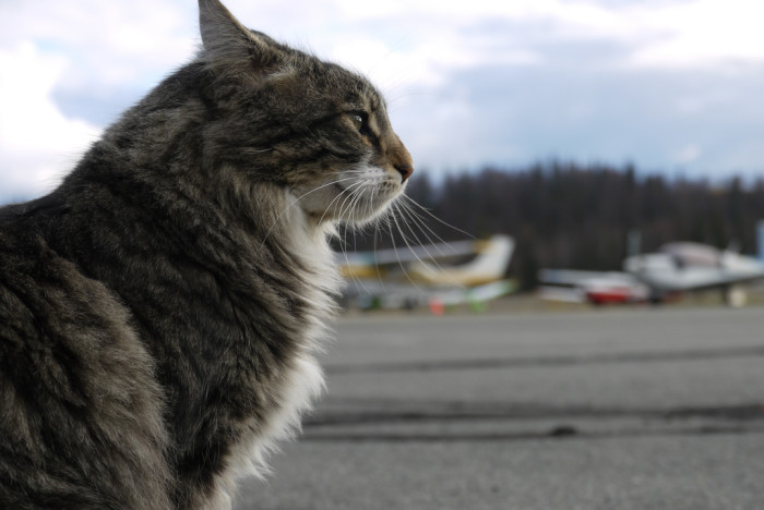8) In Talkeetna, a cat served as mayor for over 15 years. His name is Stubbs. That's Mayor Stubbs to you.